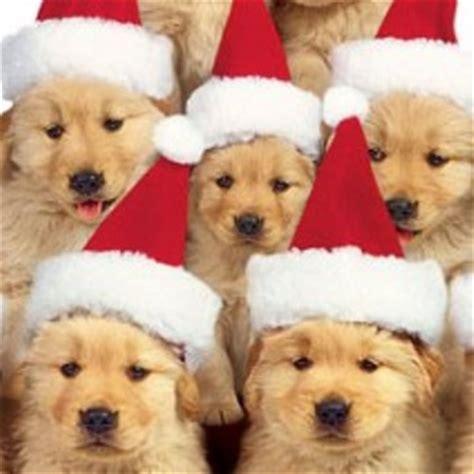 chion golden retriever puppies golden retriever dogs photo and wallpaper beautiful golden