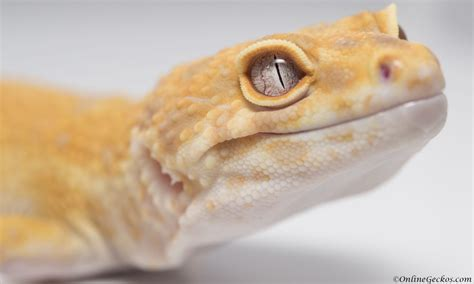 do leopard geckos need a heat l my leopard gecko won t eat feeding problems behavior