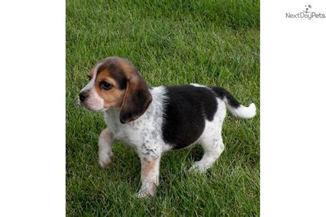 beagle puppies for sale in michigan beagle puppy for sale near battle creek michigan 35135161 3371