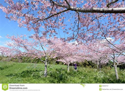 cherry tree orchard cherry trees orchard oblossom stock photo image 60320757