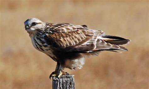 Rough Legged Hawk | rough legged hawk coniferous forest