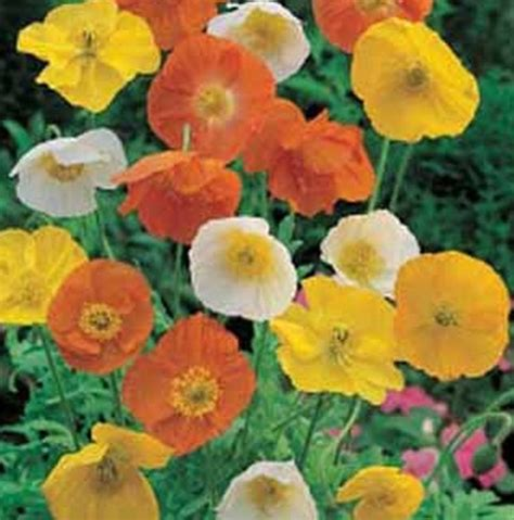 Biji Benih Bibit Bunga California Mix Poppy benih bunga poppy iceland mixed