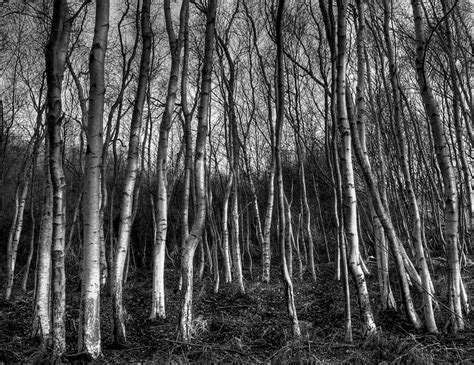 wallpaper black and white trees black and white images of trees 26 free wallpaper