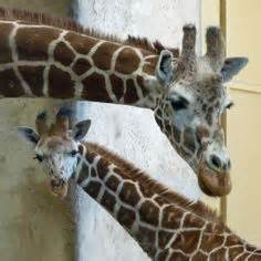 giraffe and birdie save the woodlands books 1000 images about 綣yrafy giraffe on baby