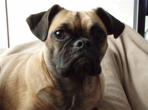 pug bull mix pug bulldog mix nationwide auctions realty llc pugs puggles pug