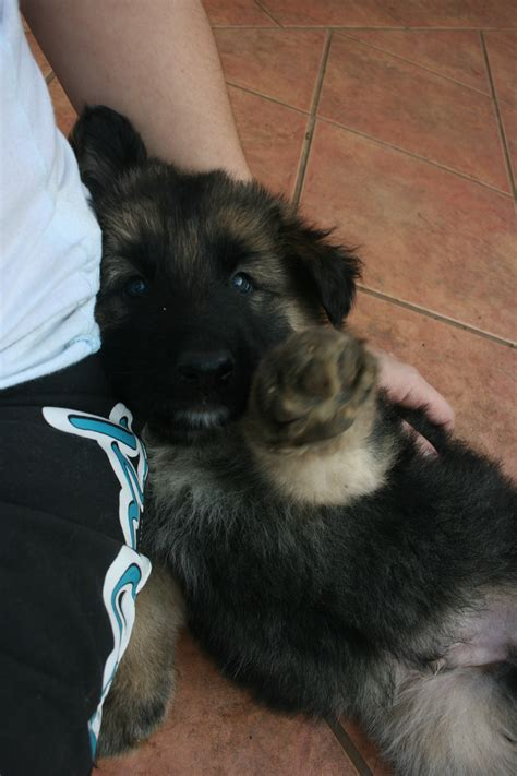 fluffy german shepherd puppy fluffy german shepherd puppy german shepherd s