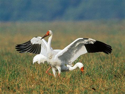 siberian crane siberian crane like a quot bird quot in the sky pinterest