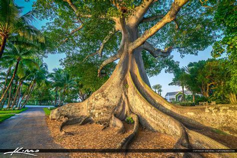 www large large kapok tree palm beach island