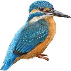 common kingfisher clipart graphics free clip art