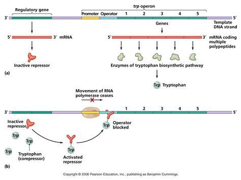 r protein operon regulation