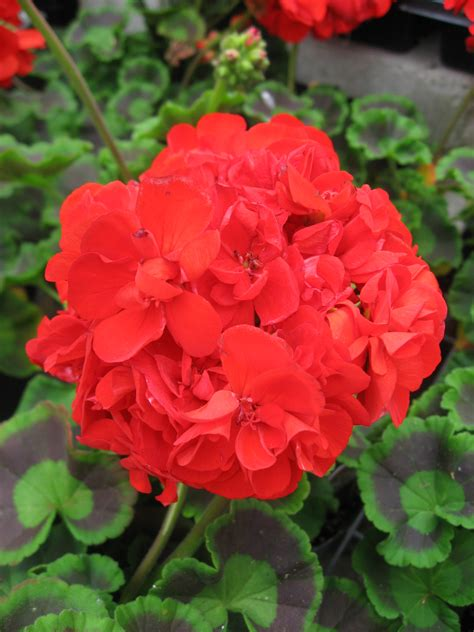 Indoor Garden Design Pictures Huntersgardencentre Com 187 Geranium Red