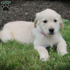 denver golden retriever puppies golden retriever puppies for sale greenfield puppies