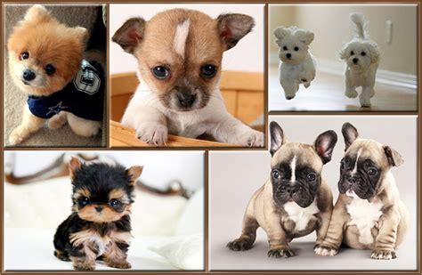imagenes de animales pequeños perros peque 241 os esos adorables seres diminutos 161 con fotos