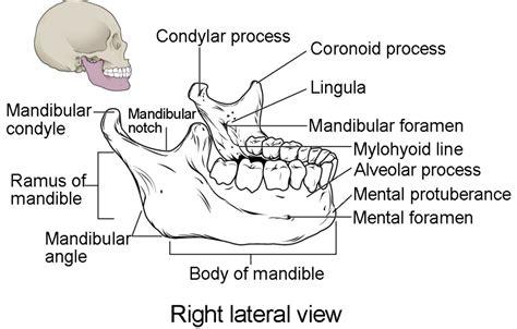 mandible diagram the mandibular foramen on bone wiring diagrams repair
