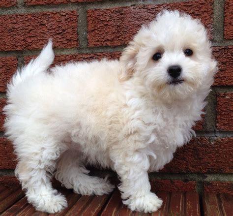 bichon poodle puppies bichon frise x poodle puppy llanelli carmarthenshire pets4homes
