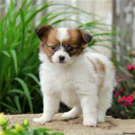 papillon puppy price papillon puppies for sale papillon breed profile greenfield puppies