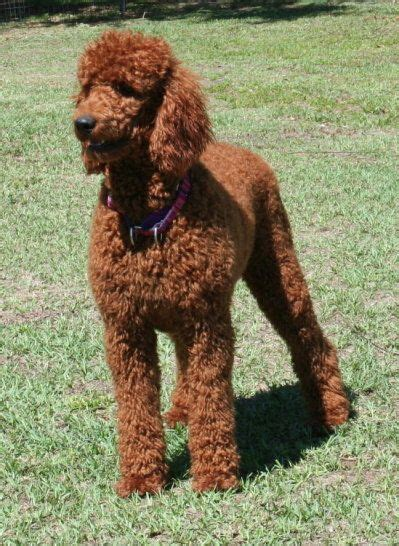 doodle for sale 19 best images about poodle cuts on poodles plays and central park