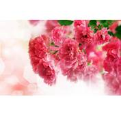 Close Up Of Pink Carnation Flowers 2560x1600jpg