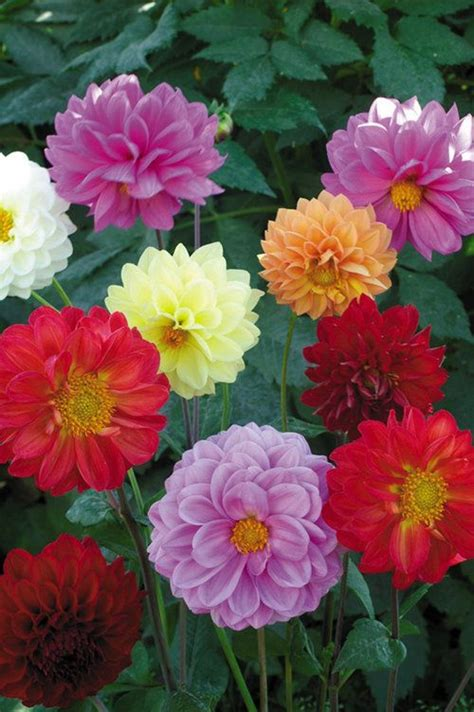 Bibit Bunga Dahlia Pompon benih bunga murah jual bibit bunga murah