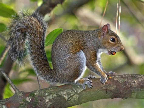 how to hunt squirrels in your backyard the best squirrel