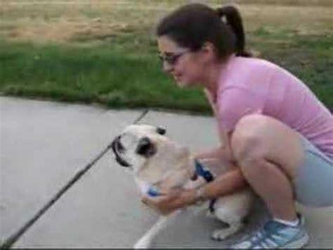 pug yelling at owner pug scream doovi