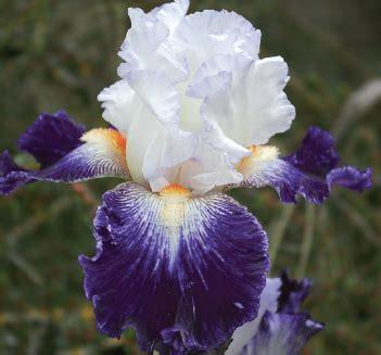 iris fiore martin lucio battisti iris quot dea quot e fiore ovidio
