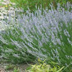 lavandin provence lavender