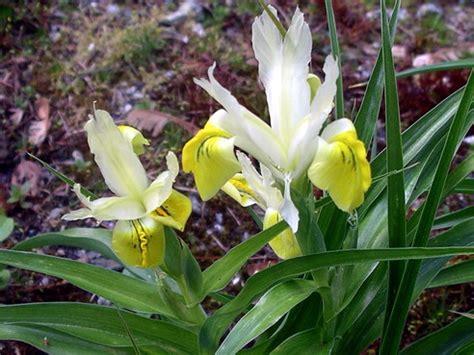 iris linguaggio dei fiori iris storia leggende e linguaggio dei fiori il