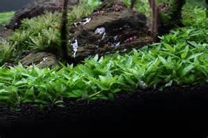 staurogyne repens aquarium plants