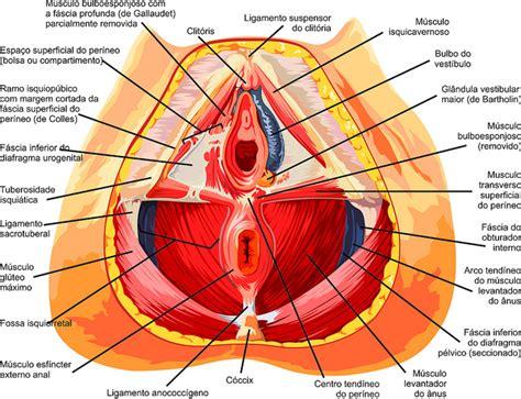 vestibulo anatomia femenina suelo p 201 lvico