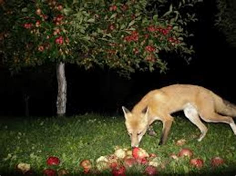 facts about coyotes for kids coyote eating fruits coyote image