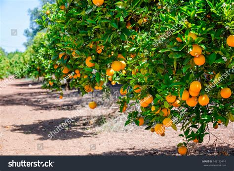 Garden Of Focus Orange Trees Garden Selective Focus Stock Photo