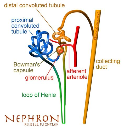 diagram of nephron nephron renal structure by kightley media