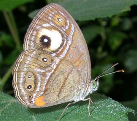 pattern formation and eyespot determination in butterfly wings eyespot mimicry wikipedia