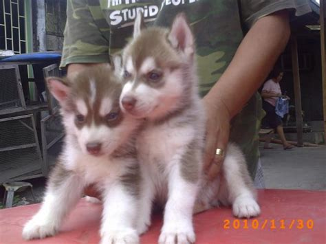 brown husky puppy puppy dogs brown siberian husky puppies