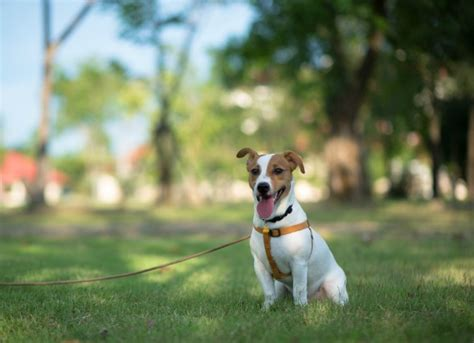 hepatic encephalopathy in dogs brain disorder due to liver disease in dogs petmd