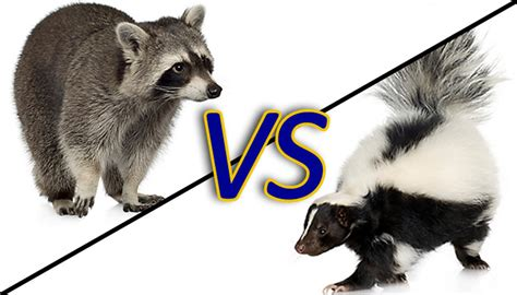 raccoon vs skunks vs raccoons the battle of ucsb