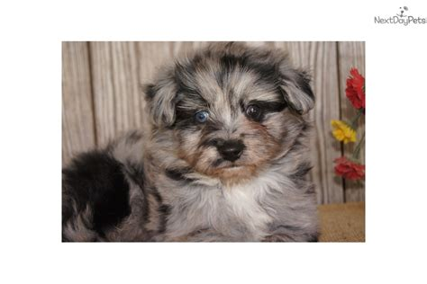 pomeranian poo achc pom a poo s more blue pomapoo for sale in joplin mo 4227019970