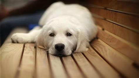 puppies hiccups why do puppies hiccup pets world