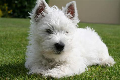 white terrier puppy west highland white terrier breed 187 info pic more