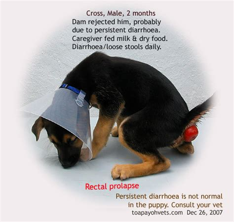 rectal prolapse in dogs 031208asingapore toa payoh veterinary cat rabbits hamster veterinarian veterinary