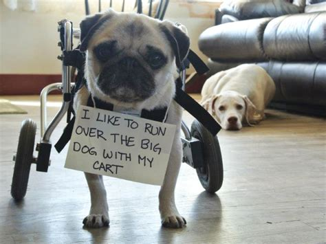 pugs being 15 guilty pugs being shamed for their pug crimes page 2 of 2