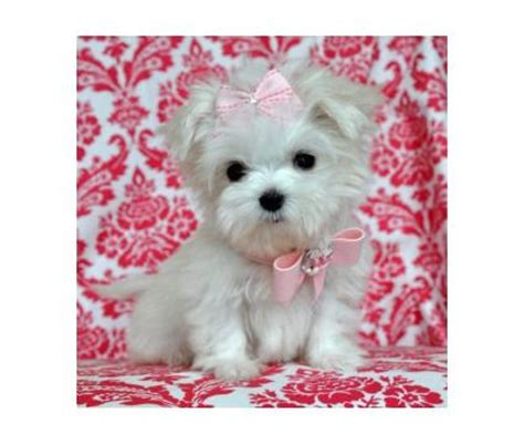 yorkie dogs for sale in san antonio tx dogs is a bichon frise poodle puppy for sale in san antonio tx breeds picture