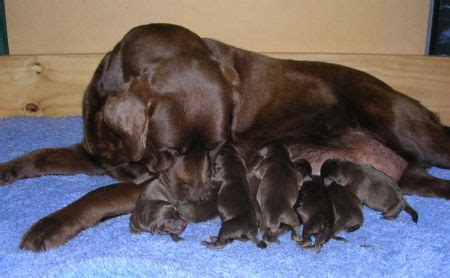 purebred german rottweiler puppies for sale near me chocolate labrador puppies for sale vic photo