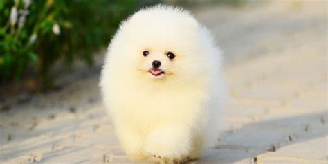 smallest pomeranian top 10 smallest dogs in the world 2017 by dogmal