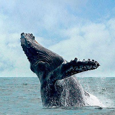17 best images about humpback whales hawaii on pinterest