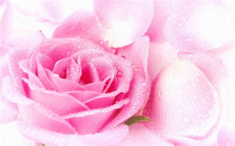 wallpaper pink rose pink rose wallpapers wallpaper cave