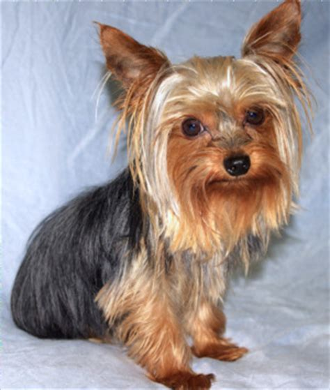 yorkie blue and yorkie poms breeds picture