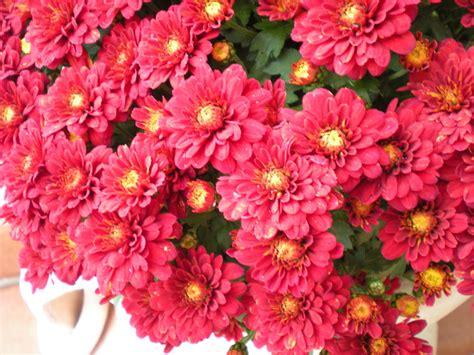 fiori da cimitero non fiori da cimitero foto immagini piante fiori