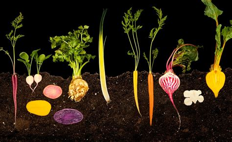 Root Vegetable Garden November Remembering Voltaire Beings Akin